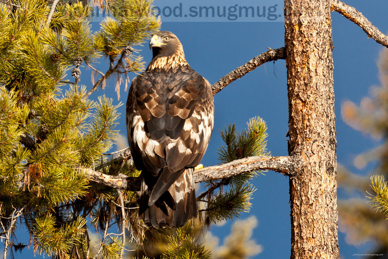 Golden Eagle near McGregor Lake, Montana