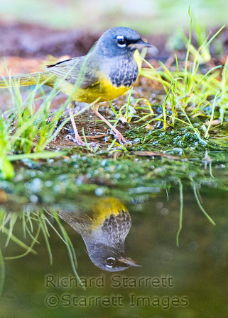 Macgillivray's Warbler, adult male, about to bath.