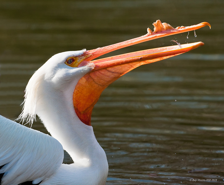 American White Pelican, St James's Park, London