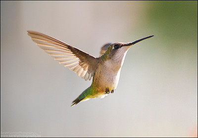 Ruby-throated hummingbird.  Archilochus colubris