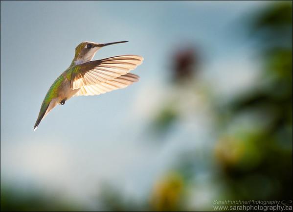 Ruby-throated hummingbird.  Archilochus colubris