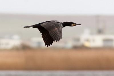 Cormorant over Maelog Lake, Rhosneigr