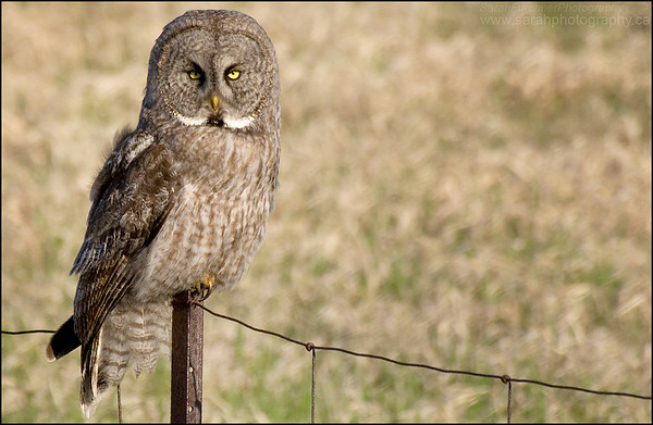 Great Grey Owl <i>Strix nebulosa</i>