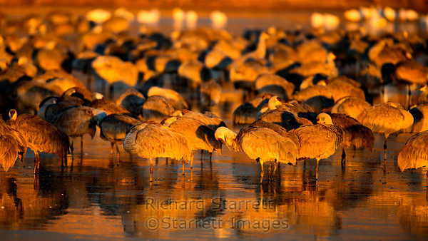 Geese at sunset, Bosque del Apache