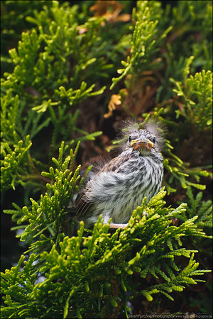 Eastern Chipping Sparrow chick  Spizella passerina