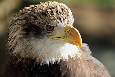 """Juvenile Bald Eagle"""