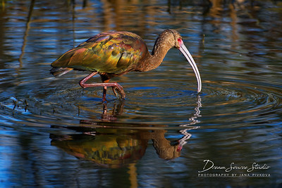 White -Faced Ibis (Plegadis Chihi)