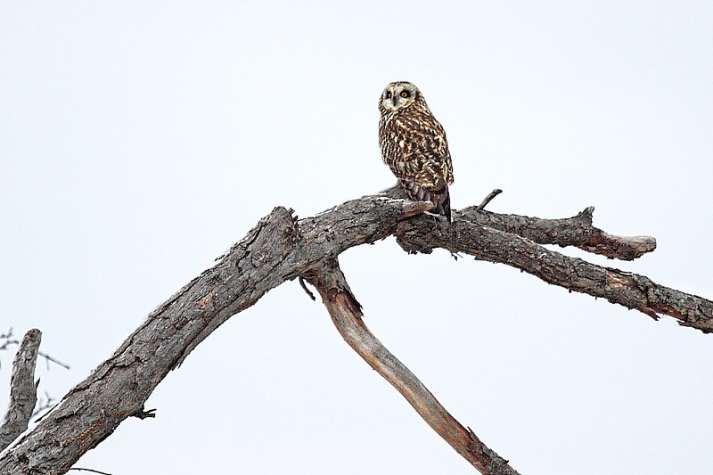 Image #7790<br /> Short-Eared Owl ~ Niagara County<br /> New York State Listed - Endangered Species