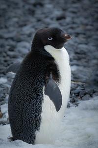 Adélie penguin, Antarctica