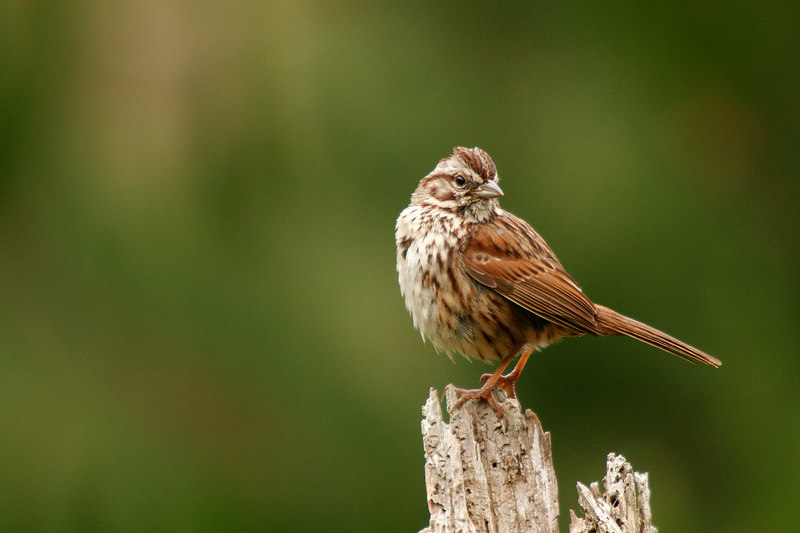 Song Sparrow, Point Lobos <br /> (California, 2006)