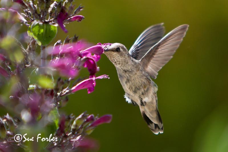 Feeding time<br /> Anna's Hummingbird feeding on a border penstemon