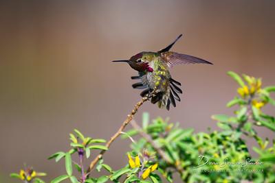 Anna's Hummingbird - Male (Calypte Anna)
