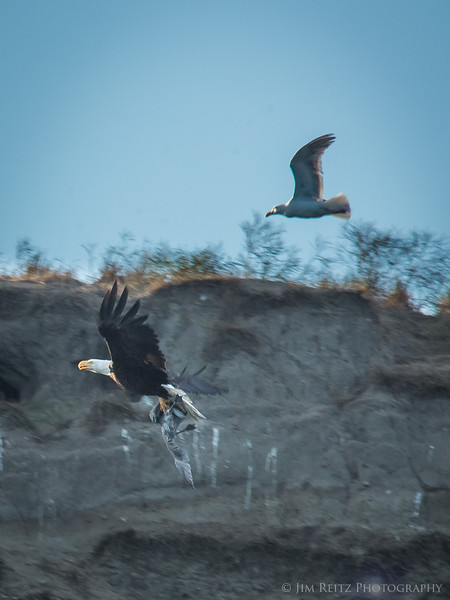 An eagle snatches a juvenile seagull, and is pursued by the adult gulls. Protection Island, WA.