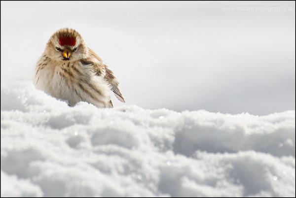 Common Redpoll Carduelis flammea