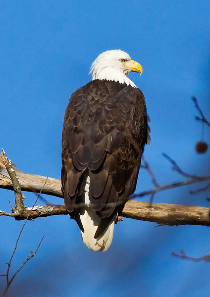 Bald Eagle Waterloo, Al 2010