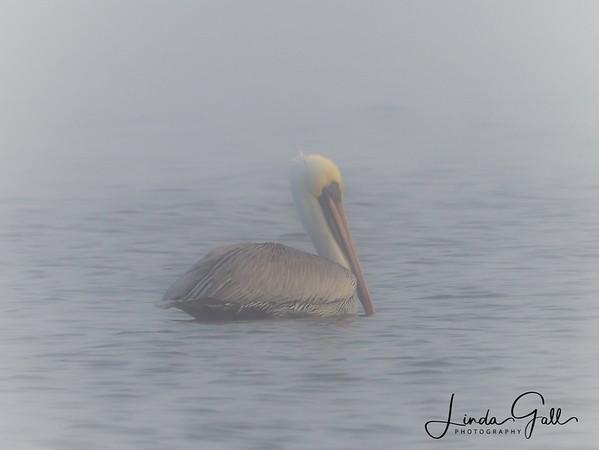 Mystic Pelican