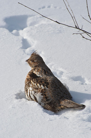 Ruffed Grouse   Bonasa umbellus