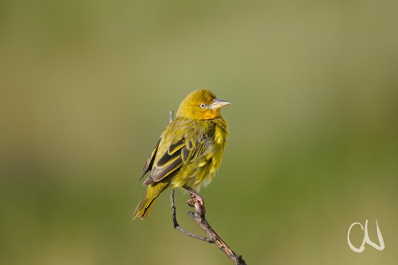 Cape Weaver, Ploceus capensis, Kapwebervogel, Lotheni Nature Reserve, Südafrika, Drakensberge, South Africa