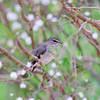 African Dusky Flycatcher, Muscicapa adusta, Botanischer Garten, Kirstenbosch National Botanical Garden, Capetown, Kapstadt, Südafrika, South Africa