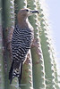 Gila Woodpecker-1512