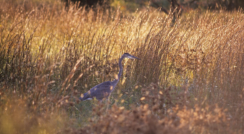 The great blue heron are fun to watch.  They are beautiful birds, delicate but extraordinary fishermen.  Their main source of food are small fish bu they will eat shrimp, crabs, aquatic insects and perhaps, rodents.