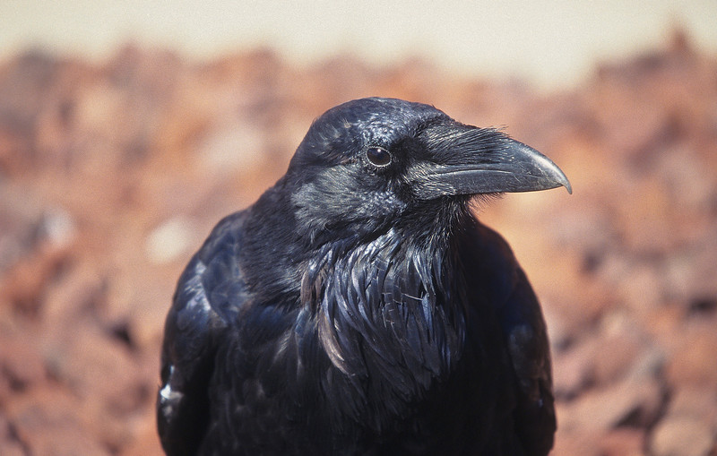 A crow, an everyday crow, nevertheless a rather handsome bird.