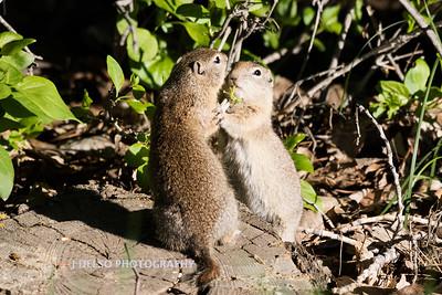 Ground Squirrels-6800