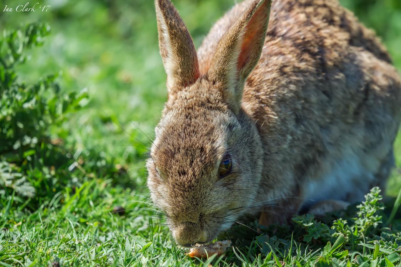 Wild Rabbit from Lunga - 2017