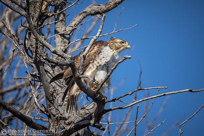 Red-tailed Hawk II