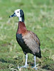 White Faced Whistling Duck, London Wetland Centre