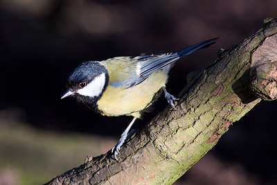Great Tit, Cannock Chase