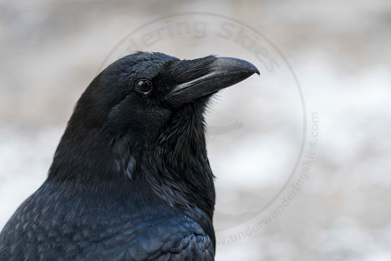 Raven, Banff National Park