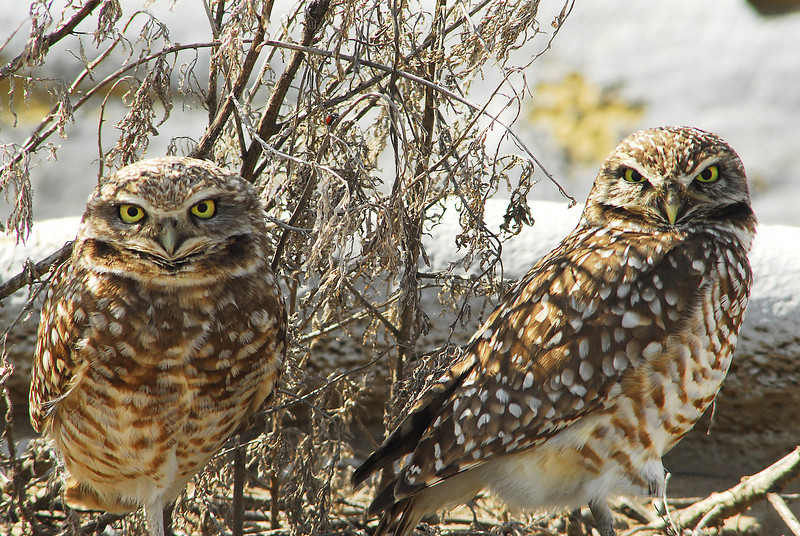 Burrowing Owls, Central Washington