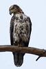 Bald Eagle Subadult-4450