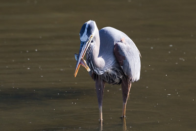 Great Blue Heron-3154