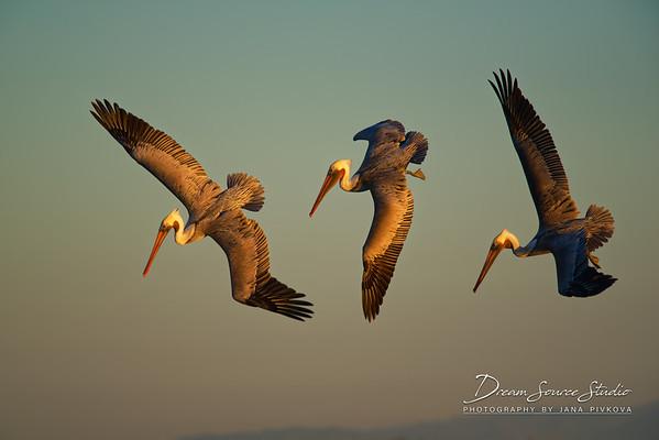 Brown Pelicans (Pelecanus occidentalis)