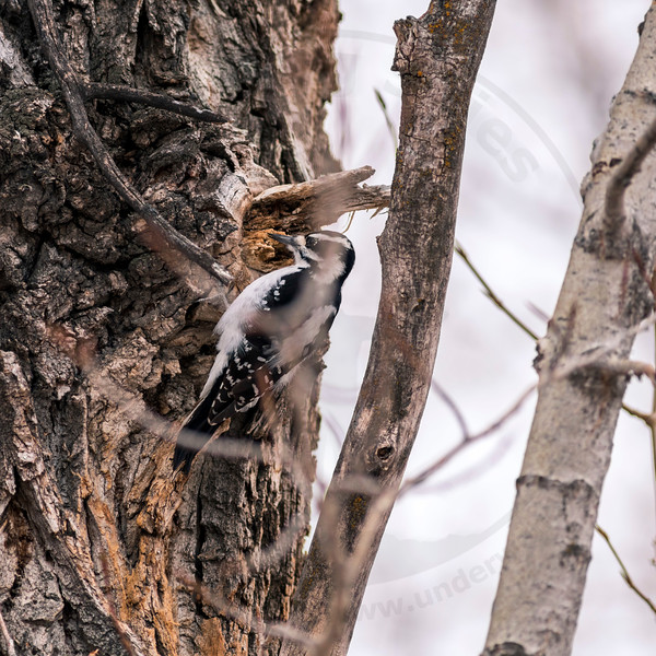 Female Hairy Woodpecker, Calgary