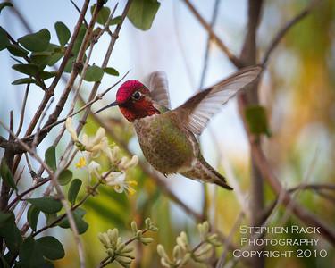 Anna's Humingbird, San Joaquin Wildlife Reserve, CA