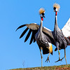 Grey Crowned Cranes Mating Dance