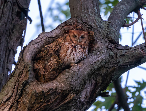 Screech Owl Before Take Off