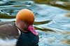 Red Crested Pochard, St James's Park, London