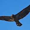 Immature Bald Eagle Waterloo, Al 2009