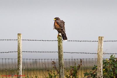 Hawk - Harris Hawk?  Elmley Marsh