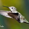 Anna's Hummingbird<br /> Anna's Hummingbird, California