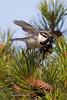 Chickadee Flight-