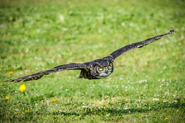 Great Horned Owl.  Grouse Mountain, BC. Photo by: Stephen Hindley©