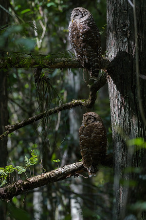 Barred Owls (Strix varia)