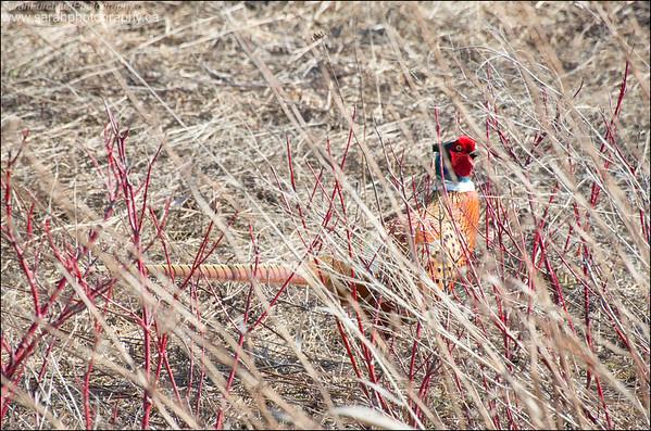 Ring-necked Pheasant Phasianus colchicus