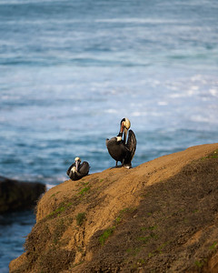 Californian Brown Pelicans purched on a rock