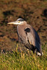 I don't know much about birds, but I think this is a juvenile great blue heron.